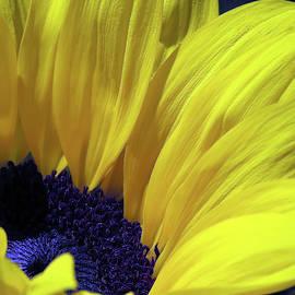 Stunningly Beautiful Sunflower by Johanna Hurmerinta