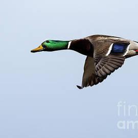 Sam Rino - Stupor Duck