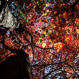 Sugar Maple in Fall by Jeff Folger