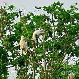 Sulphur Crested Cockatoos Having Fun In Tree Tops by Leanne Seymour