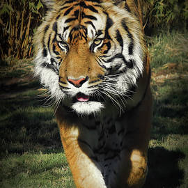 Sumatran Tiger Face To Face by Elaine Malott