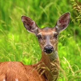 LeeAnn McLaneGoetz McLaneGoetzStudioLLCcom - Summer Deer