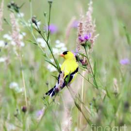 Summer Goldfinch in the Wildflowers by Kerri Farley