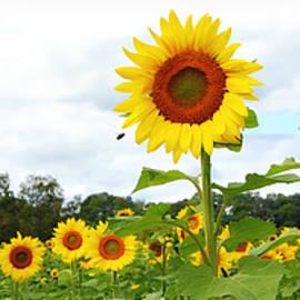 Summer Sunshine Panorama by Marilyn De Block