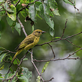 Summer Tanager - 8854 by Jerry Owens