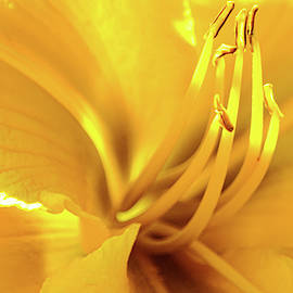 Sun-Kissed Daylily by Mary Ann Artz