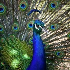 Sun Kissed Peacock by Ruth Jolly