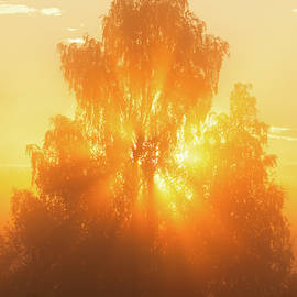 Sunbeams through tree in morning fog by Juhani Viitanen