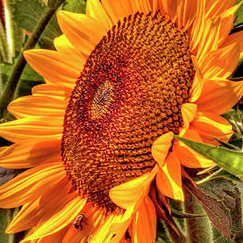 Sunflower at Holland RIdge Farms in Upper Freehold, New Jersey by Geraldine Scull