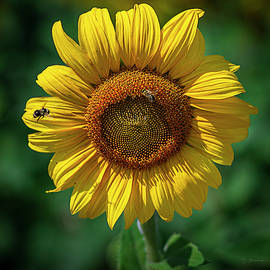 Sunflower at Midday by David Sams
