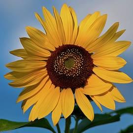 Sunflower beauty  by Lynn Hopwood