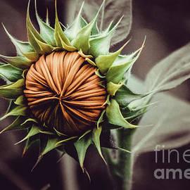 Sunflower Bud Photograph by Stephen Geisel