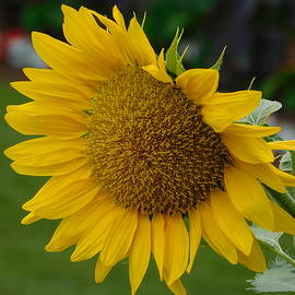 Sunflower by Catherine Gagne
