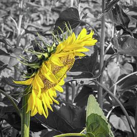 Sunflower Collection #7 by Deborah Klubertanz