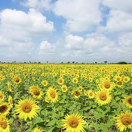 Sunflower Farm by Souvik Bhattacharya