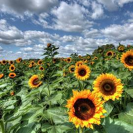 Sunflower Field And Cloudy Skies by Geraldine Scull
