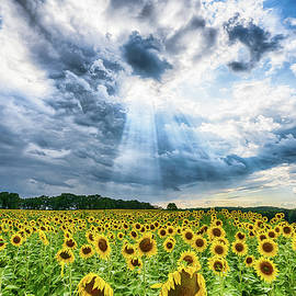 Sunflower Field by Brad Bellisle