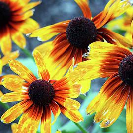 Sunflower Flame by Cynthia Guinn