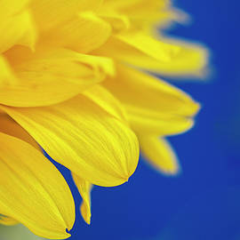Sunflower by Irina Safonova