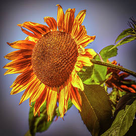 Sunflower #j1 by Leif Sohlman