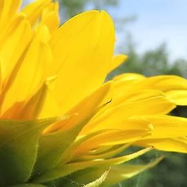 Sunflower Opening by Carol McGrath