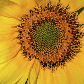 Sunflower Seed Patterns  by Mary Lynn Giacomini