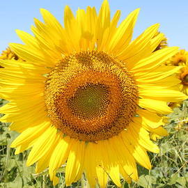 Sunflower Sunshine Ii by Barbra Telfer
