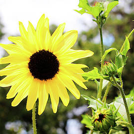 Sunflower With Buds by Cynthia Guinn