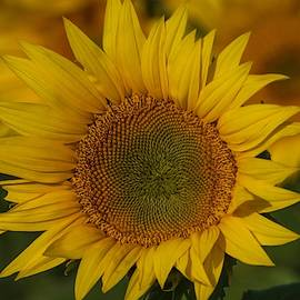 Sunflower without bees by Lynn Hopwood