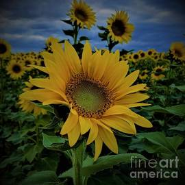 Sunflowers at Twilight by Suzanne Wilkinson