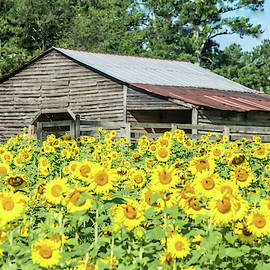 Sunflowers by the Old Barn by Mary Ann Artz
