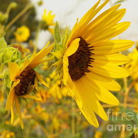 Sunflowers In Natures Gallery by Art Sandi