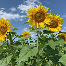 Sunflowers say hi by Lieve Snellings