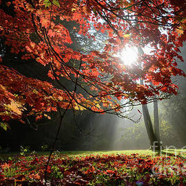 Sunlight Through Autumn Leaves by Colin Rayner