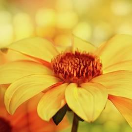 Sunny Morning Dahlia by Terry Davis