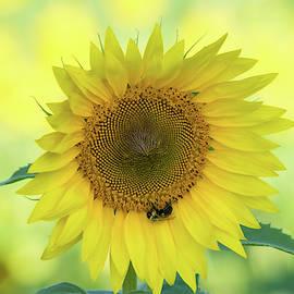 Sunny Sunflower by Mary Ann Artz