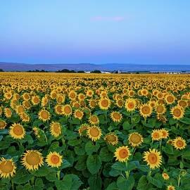Sunrise Sunflower Field 2 by Lynn Hopwood
