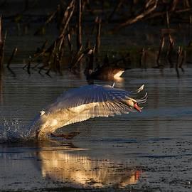 Dwight Eddington - Sunrise swan