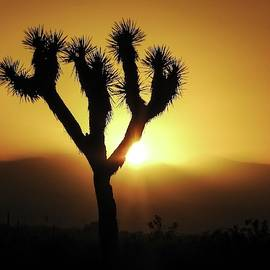 Sunset Behind Joshua Tree by NaturesPix