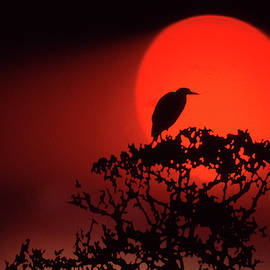Sunset Heron by Jerry Griffin