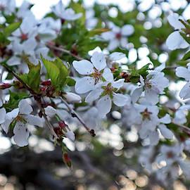 Sunset Spring Bloom by Rosalie Hummel