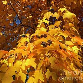 Sunshine on the Maples by Ann Brown