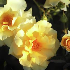 Sparkling Sunsprite Roses