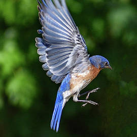 Suspended Eastern Bluebird by Cindy Treger
