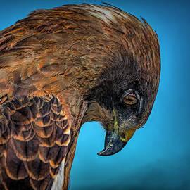 Swainson's Hawk Portrait by Lowell Monke