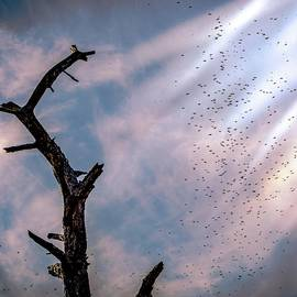 Swallow Migration
