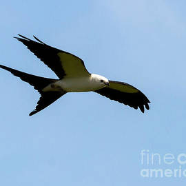 Rodney Cammauf - Swallow Tail Kite in flight