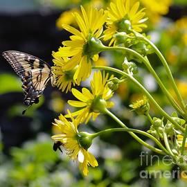 Swallowtail on Sunflowers  by Leslie Gatson-Mudd