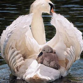 Swan And Baby Swan  by Top Wallpapers