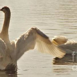 Rory Cubel - Swan Drying Wings           Indiana          October